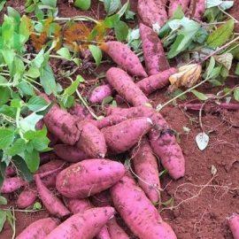 trồng và thu hoạch khoai lang